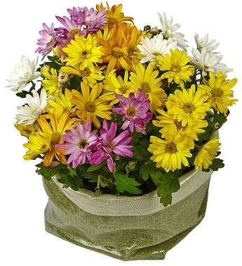 Basket of Daisy Plants