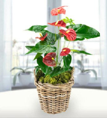Tropical Anthurium Plant