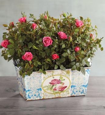 Pink Mini Rose Double